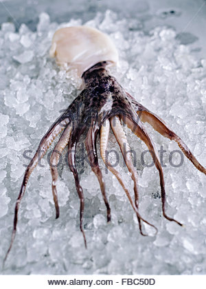 A small whole octopus on ice on rustic metal surface - Stock Photo