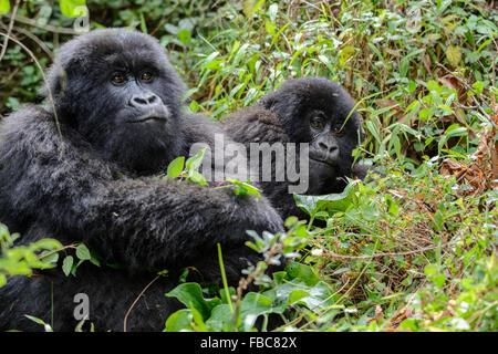 Mountain Gorillas, Mgahinga Gorilla National Park, Uganda - Stock Photo