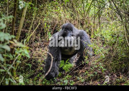Silverback, Mountain Gorilla, Mgahinga Gorilla National Park, Uganda - Stock Photo