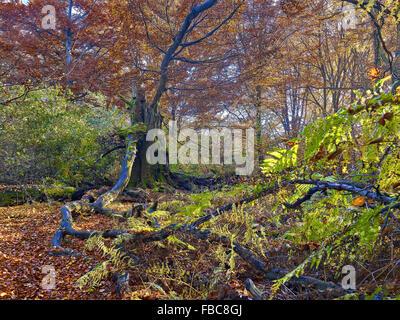 Nature reserve Sababurg Forest,  Hesse, Germany - Stock Photo