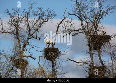 Several white stork standing over their nests perched in oak trees. - Stock Photo