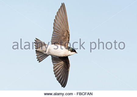 Profile view of a Tree Swallow in flight showcasing the beauty of the birds wings and tail feathers. Set off by - Stock Photo