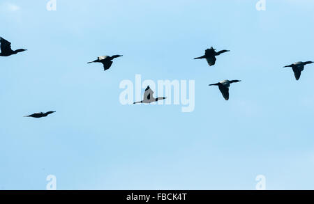 Flock of black cormorant birds flying fast from left to right on pale blue sky. - Stock Photo