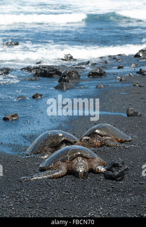 Turtles on Black Sand Beach in Hawaii, United States - Stock Photo