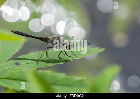 Black Darter (Sympetrum danae), male, Thuringia, Germany - Stock Photo