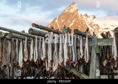 Cod hanging to dry on wooden racks in front of the mountain Olstinden, Moskenes, Lofoten, Norway - Stock Photo
