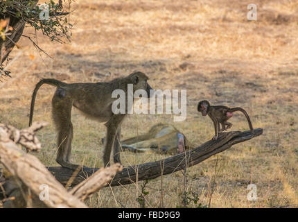 Female yellow baboon (Papio cynocephalus) and young on a fallen tree branch, South Luangwa, Zambia, Africa - Stock Photo