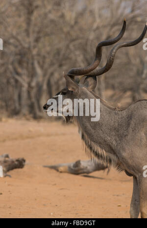 Profile view of an adult male Greater kudu (Tragelaphus strepsiceros), Chobe National Park, Botswana, Africa - Stock Photo