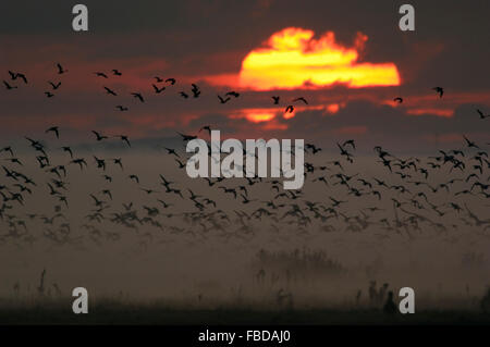 Hundreds of wild Geese / Wildgaense rising in flight from roosting areas at sunrise in heavy morning mist, Germany. - Stock Photo
