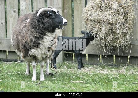 Sheep With Lamb Eating Hay On Grassy Field Against Wooden Fence - Stock Photo