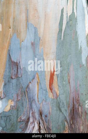 Eucalyptus glaucescens. Tingiringi gum tree bark - Stock Photo