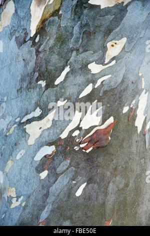 Eucalyptus pauciflora niphophila. Alpine snow gum tree bark - Stock Photo