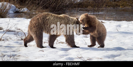 Grizzly Bear #610 and one of her three cubs play in the snow in Grand Teton National Park, Wyoming. - Stock Photo