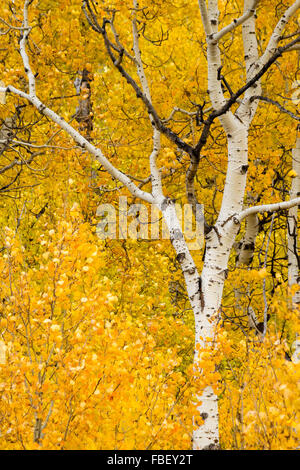 Aspen trees are blanketed in yellow fall leaves in Grand Teton National Park, Wyoming. - Stock Photo
