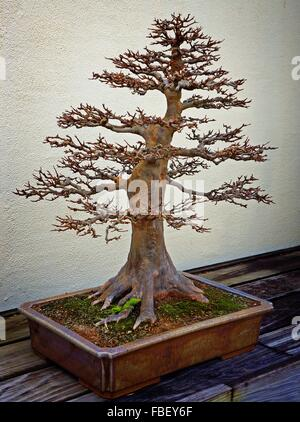 Maple Bonsai Tree On Table Against Wall - Stock Photo