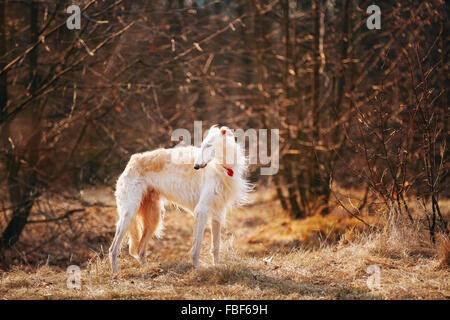 White Russian Wolfhound Dog, Borzoi, Russian Hunting, Sighthound, Russkaya Psovaya Borzaya, Psovoi. Autumn Season - Stock Photo