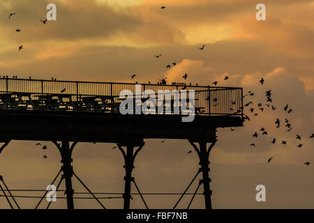 Aberystwyth, West Wales, UK 15th January 2016 - A large flock of starlings come home to roost at dusk. The starlings - Stock Photo