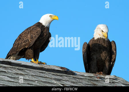 Pair of Bald Eagles sitting on a roof - Stock Photo