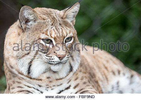 Bobcat - Lynx rufus californicus - Stock Photo
