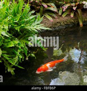 Koi carp swimming stock photo royalty free image 8991753 for Pool koi aquatics ltd