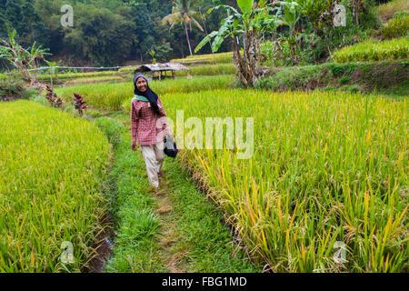Sundanese woman passing through rice field. - Stock Photo