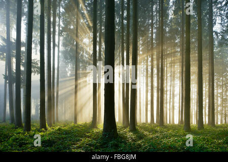 Spruce forest with sunbeams through mist, Lindenberg, Canton of Aargau, Switzerland - Stock Photo