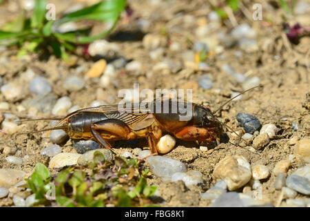 Bộ sưu tập Côn trùng - Page 6 European-mole-cricket-gryllotalpa-gryllotalpa-burgenland-austria-fbg8k1