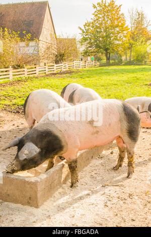 swabian hall pigs, open-air museum, wackershofen, schwaebisch hall, baden-wuerttemberg, germany