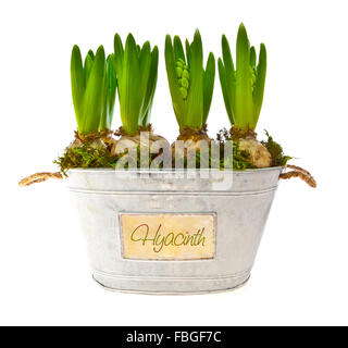 Growing hyacinth flower bulbs in pot isolated on white background - Stock Photo