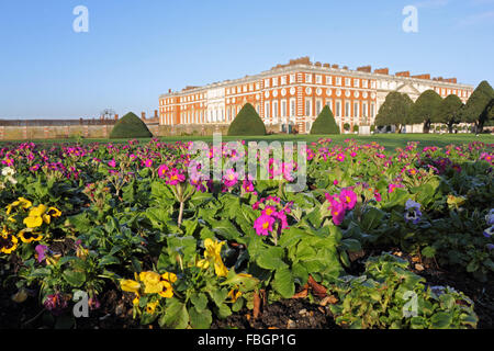 Hampton Court, London, UK. 16th January 2016. A colourful display of purple primulas and yellow pansies planted - Stock Photo