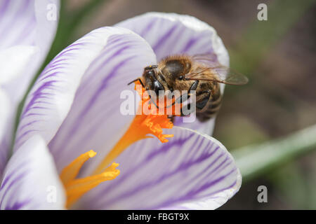 Macro - insects - bee on violet striped crocus - Stock Photo