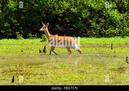 A white-tailed doe deer in a wetland marsh area in Monroe County, Indiana, USA. - Stock Photo