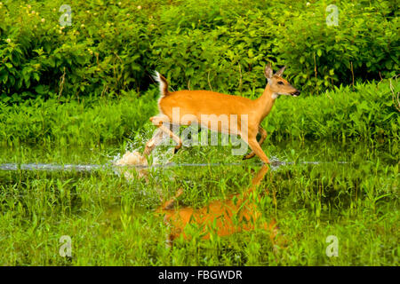 A white-tailed doe deer running through a wetland marsh area in Monroe County, Indiana, USA. - Stock Photo
