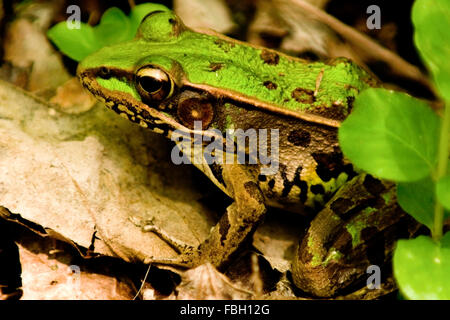 A Northern Leopard Frog (Lithobates pipiens) on the ground near a pond. - Stock Photo