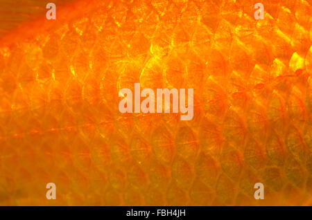 Goldfish (Carassius auratus) - Stock Photo
