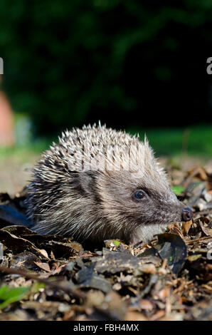 Hedgehog in garden - Stock Photo