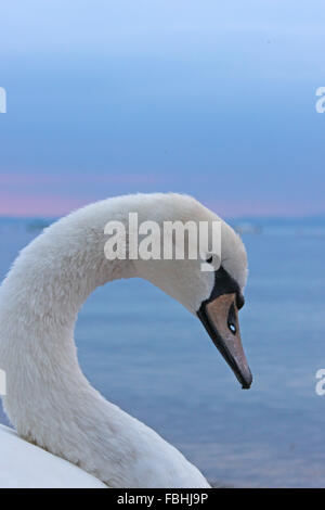 Swan, portrait - Stock Photo