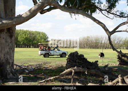 Safari jeep by ostrich, Animal World Game Park, Emerald Resort, Vanderbijlpark, Emfuleni Municipality, Gauteng, South Africa Stock Photo