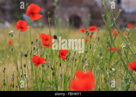 Poppies growing in Roman Forum, Rome, Italy. - Stock Photo