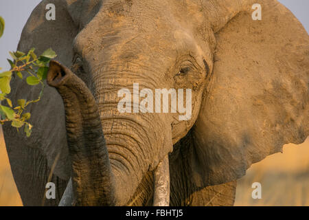 African bush elephant (Loxodonta africana), South Luangwa, Zambia, Africa - Stock Photo