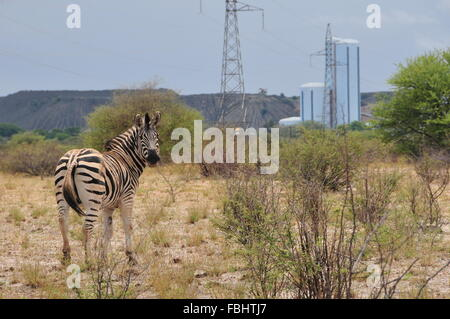Jwaneng, Botswana. 16th Jan, 2016. A zebra is seen in Jwana Game Park within the boundaries of the Jwaneng mining - Stock Photo