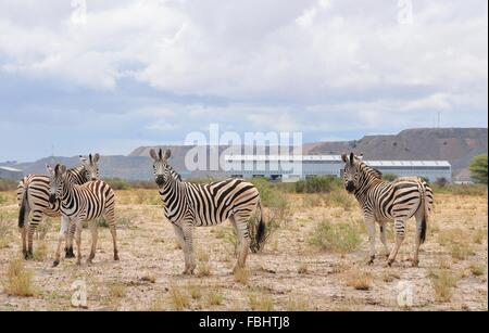 Jwaneng, Botswana. 16th Jan, 2016. A group of zebras are seen in Jwana Game Park within the boundaries of the Jwaneng - Stock Photo