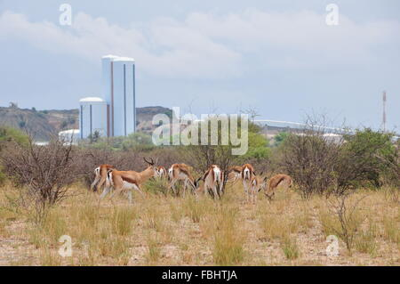 Jwaneng, Botswana. 16th Jan, 2016. A group of sprinboks are seen in Jwana Game Park within the boundaries of the - Stock Photo