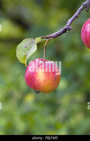 Malus 'Striped Beauty'. Crab apple 'Striped Beauty' growing in an English Orchard. - Stock Photo