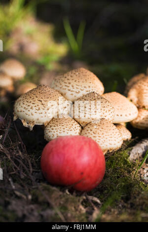 Malus domestica. Fallen apple on the woodland floor. - Stock Photo