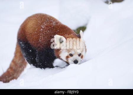 Red panda, Ailurus fulgens, winter, head-on, running - Stock Photo