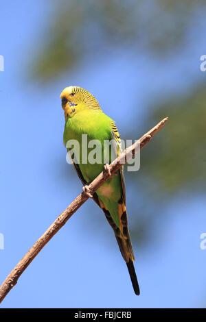 Budgerigar perching on a branch, Melopsittacus undulatus - Stock Photo