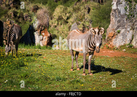 The Grevy s zebra (Equus grevyi), sometimes known as the imperial zebra, is the largest species of zebra. It is - Stock Photo