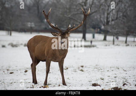 Red Deer Stag in Snow - Stock Photo