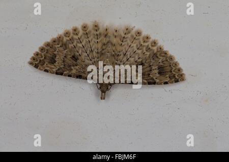 Twenty-plume Moth, Many-plumed moth, Geißblattgeistchen, Geißblatt-Geistchen, Alucita hexadactyla, Alucita polydactyla - Stock Photo
